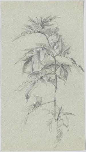 Pflanzenstudie, um 1840/50