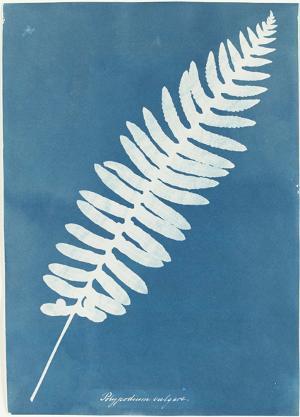 Polypodium vulgare, um 1850